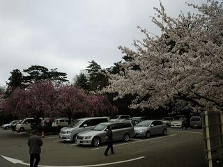 卯辰山の桜