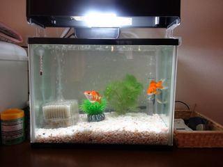 金魚2代目
