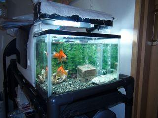 [IMG]金魚非難