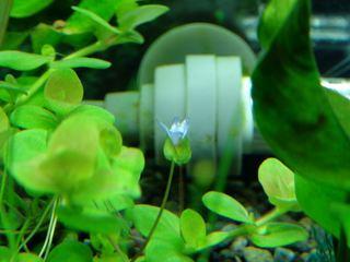 [IMG]水中花