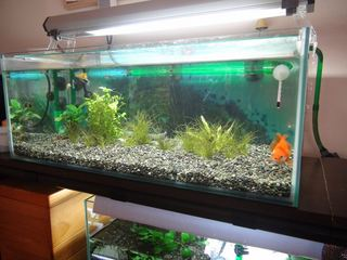 [IMG]金魚