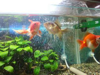 ニュー金魚