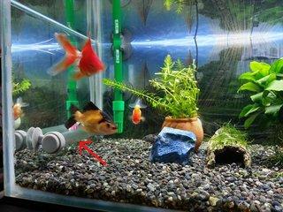 [IMG]金魚水槽